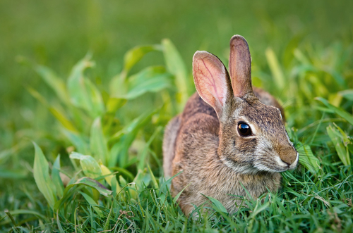 Humane ways to protect your yard from wild rabbits.