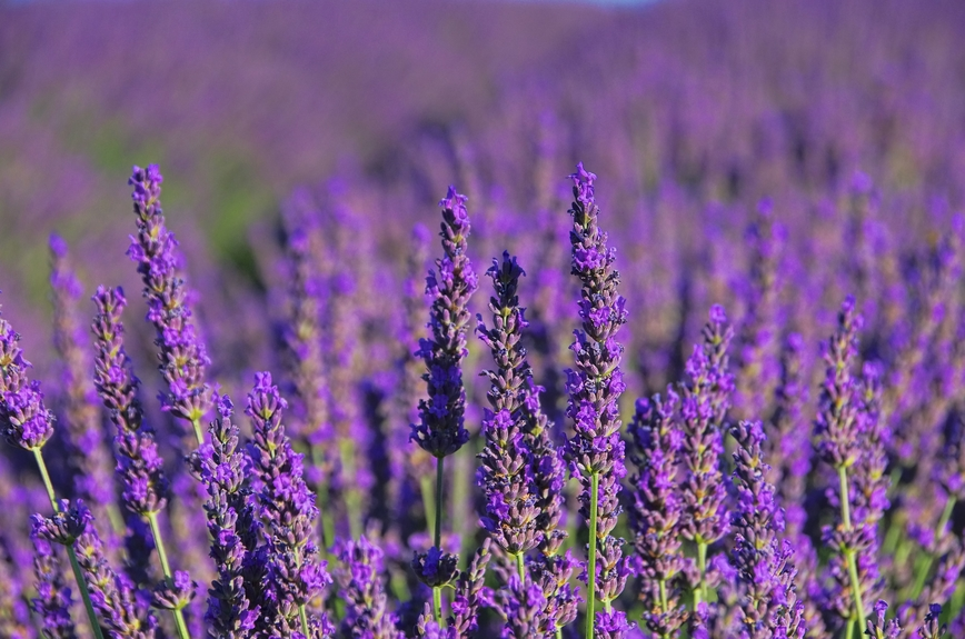 Lavender is a beautiful addition to any garden.