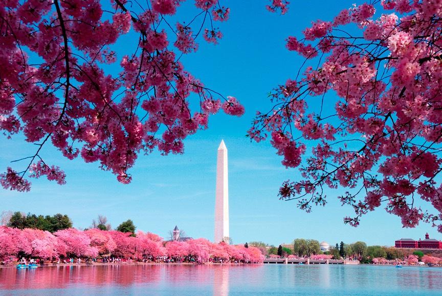 Cherry Blossom DC