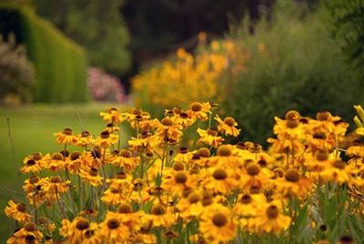 Yellow-Helenium