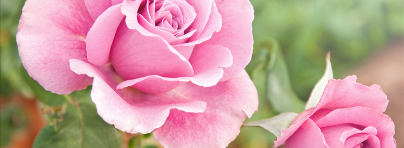 The History and Cultivation of Roses