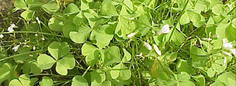 Celebrate St. Patrick's Day by Planting a Shamrock Plant (Oxalis) in Your Garden