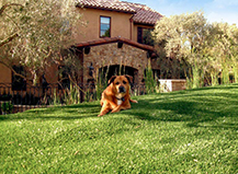 Artificial Grass Dog Friendly